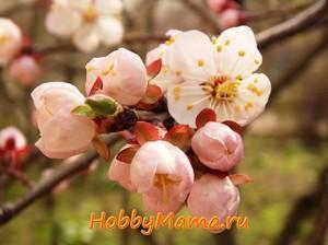 Фото Абрикосы в цвету