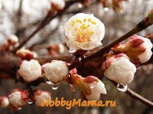 Фото Цветущие абрикосы в дождливый день