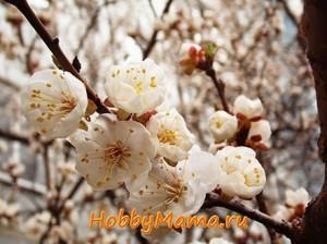 Фото Цветение абрикоса