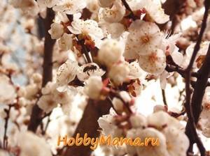 Фото Цветущие абрикосы и пчелки