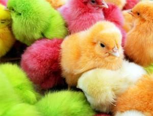 Крашеные цыплята